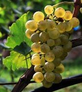 Racimo de uva Müller-Thurgau