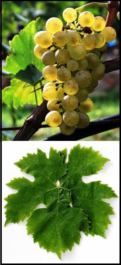 Müller-Thurgau Grape Cluster and Leaf