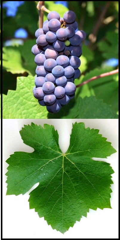 Spätburgunder (Pinot Noir) Grape Cluster and Leaf