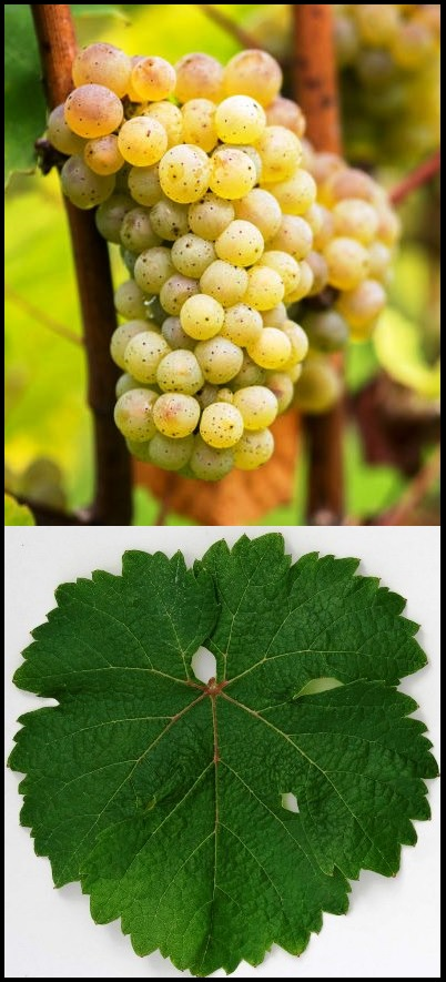Riesling Grape Cluster and Leaf
