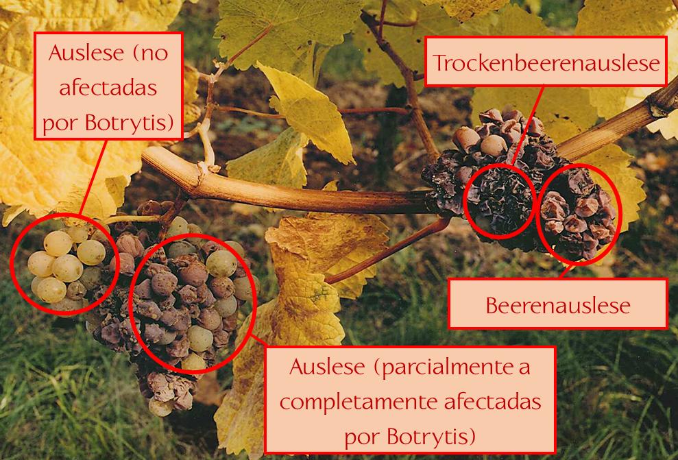 Uvas afectadas por el Botrytis cinerea