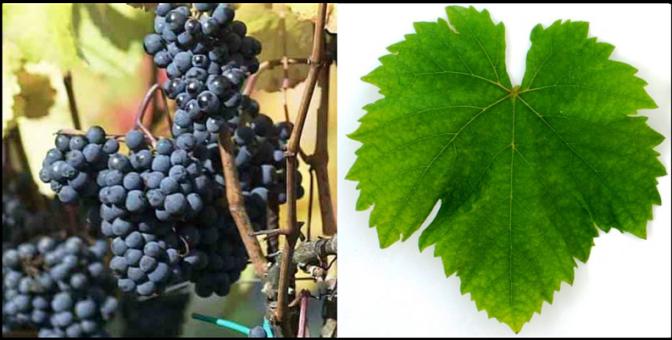 Blaufränkish (Lemberger) Grape & Leaf