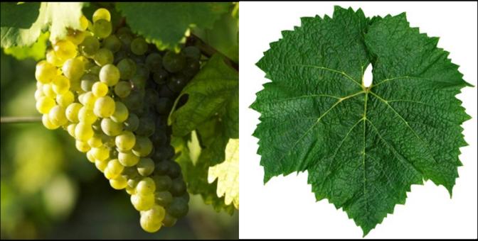 Chardonnay Grape & Leaf