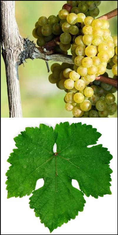 Grüner Veltliner Grape Bunch and Leaf