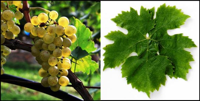 Müller-Thurgau Grape & Leaf