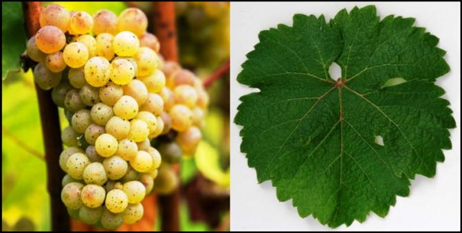 Riesling Grape & Leaf