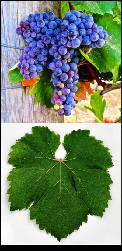 Zweigelt Grape & Leaf